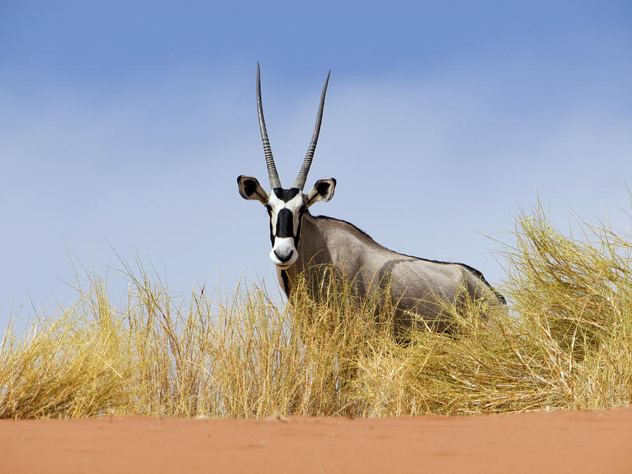 Oryx Namibia Photograph by Alexander Koenders