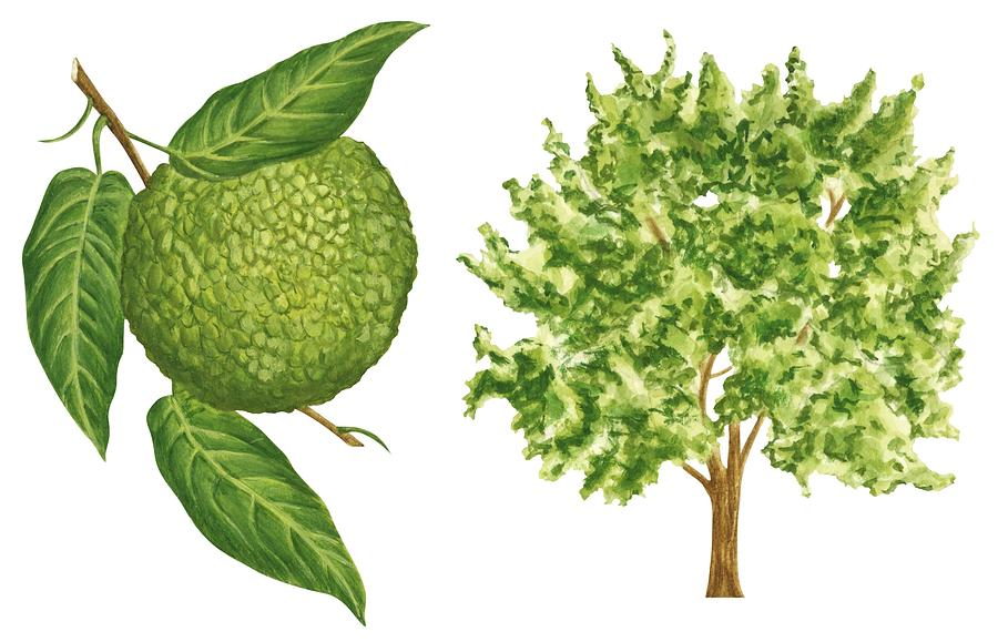 No People Drawing - Osage Orange Tree by Anonymous
