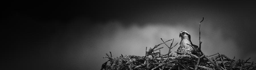 Osprey by Bradley R Youngberg