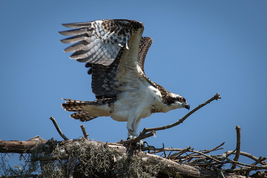 Osprey Departing Nest Photograph by Gregory Daley  MPSA