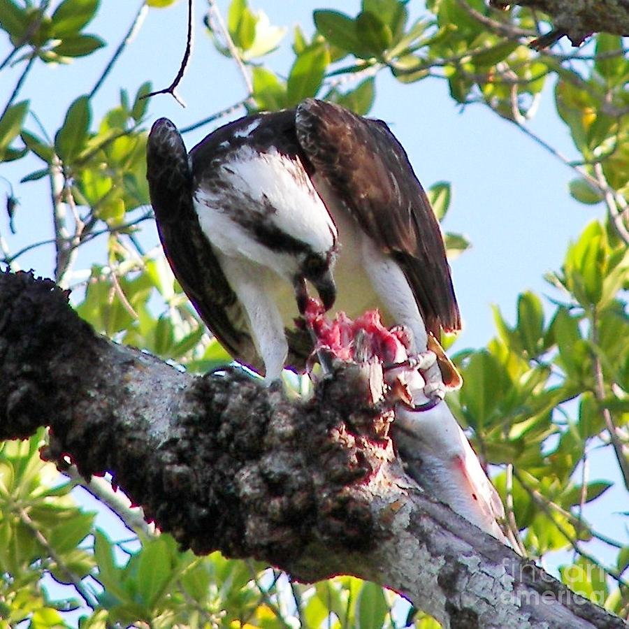 Osprey Photograph - Osprey Eating A Large Fish by Judy Via-Wolff