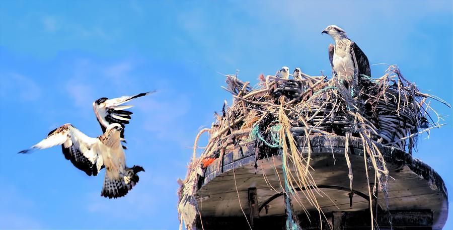 Osprey Family by David Rich
