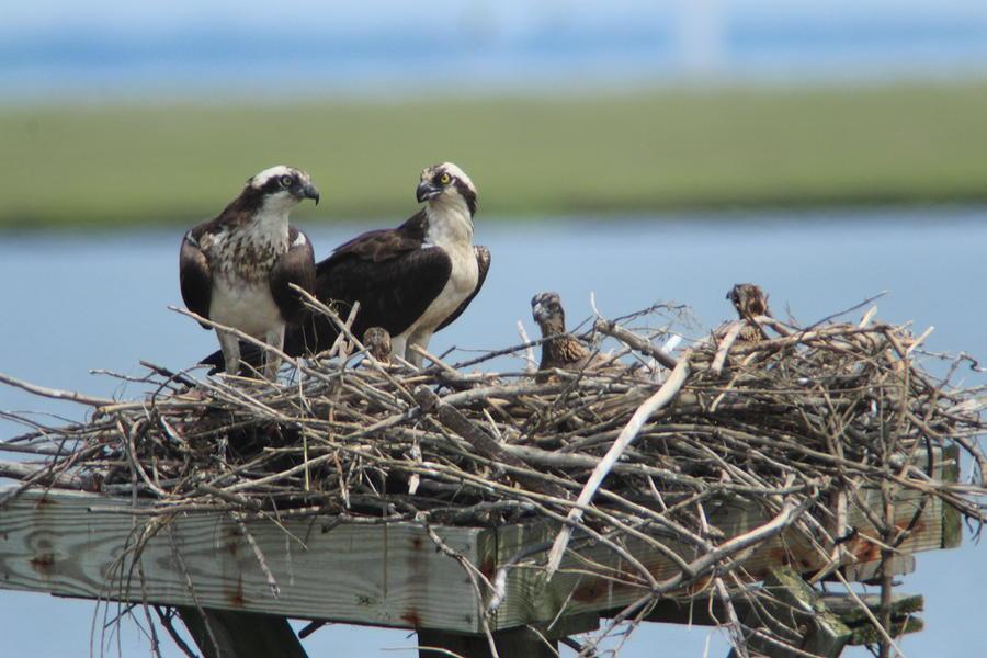 Osprey Photograph - Osprey Family by Diane Rada