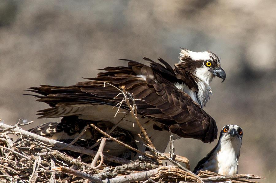 Osprey Photograph - Osprey Family Huddle by John Daly