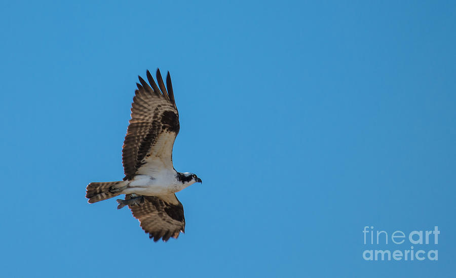 Osprey Photograph - Osprey Flying Home With Dinner by Robert Bales