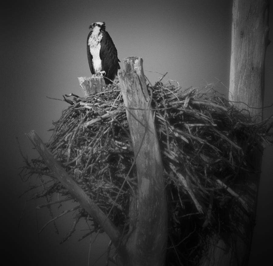 Osprey Guarding Nest by Bradley R Youngberg