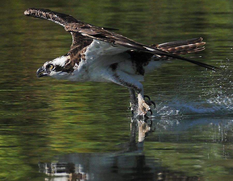 Osprey Photograph - Osprey Hunter by Kenneth Haley