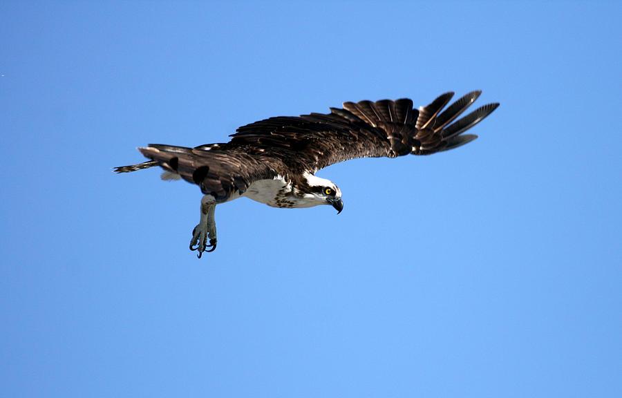 Bird Photograph - Osprey In Flight by Darrin Aldridge