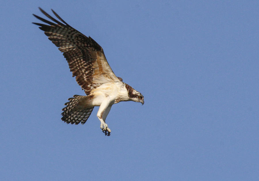Osprey Photograph - Osprey In Flight by Jill Bell