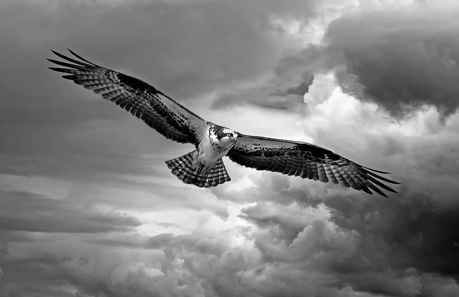 Osprey Photograph - Osprey in Storm by Rachel Bilodeau