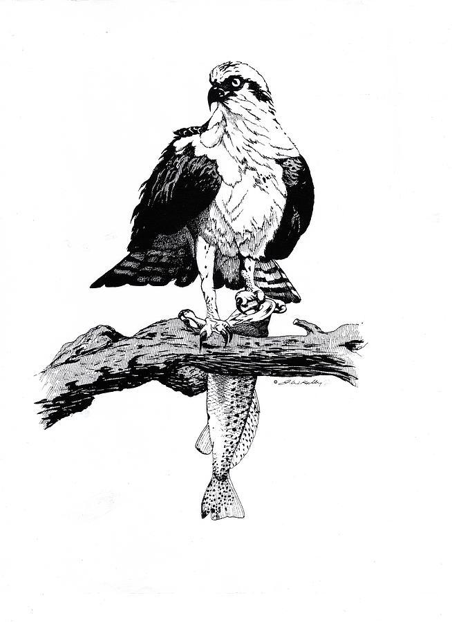 Osprey Drawing - Osprey by J W Kelly