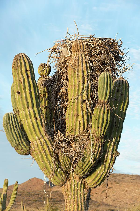 Nobody Photograph - Osprey Nest In A Cactus by Christopher Swann