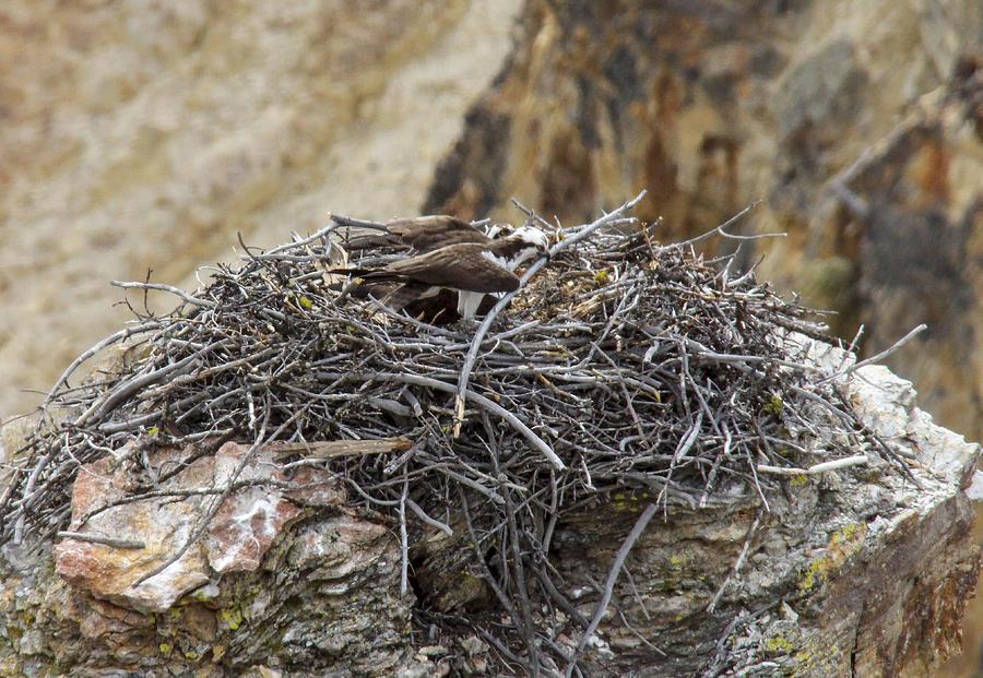 Osprey Photograph - Osprey Nest by Jill Bell