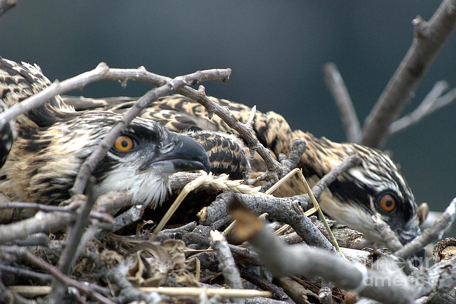 Parent Photograph - Osprey Nestlings by Lauren Brice
