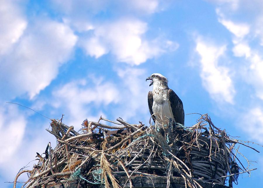 Osprey on Nest by David Rich