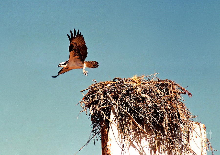 Baja California Photograph - Osprey by Phyllis Kaltenbach