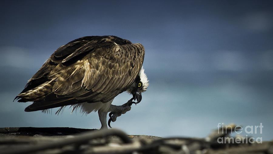 Cabo San Lucas Photograph - Osprey Scratchin by Richard Mason