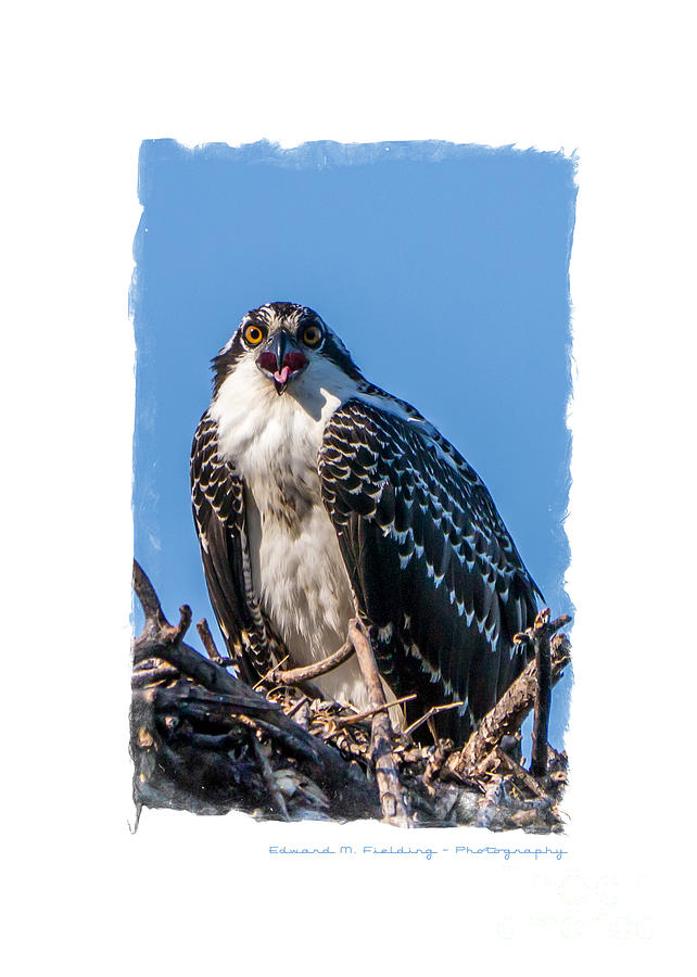 Funny Photograph - Osprey Surprise Party Card by Edward Fielding