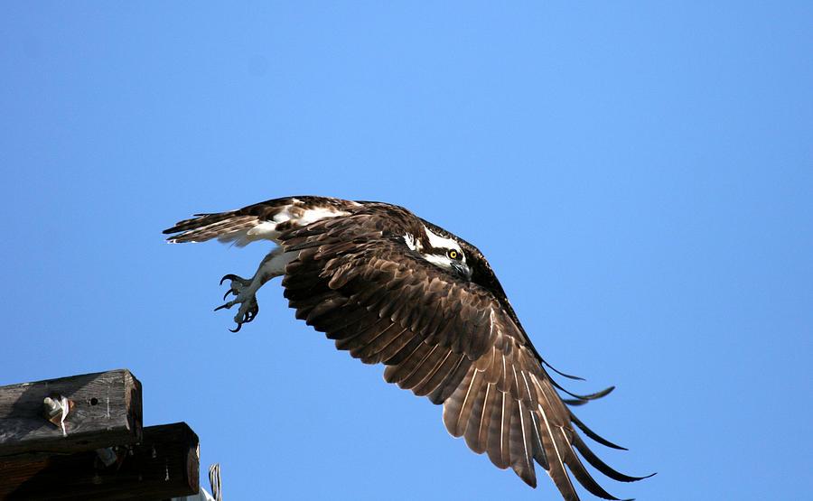 Bird Photograph - Osprey Wings Forward by Darrin Aldridge