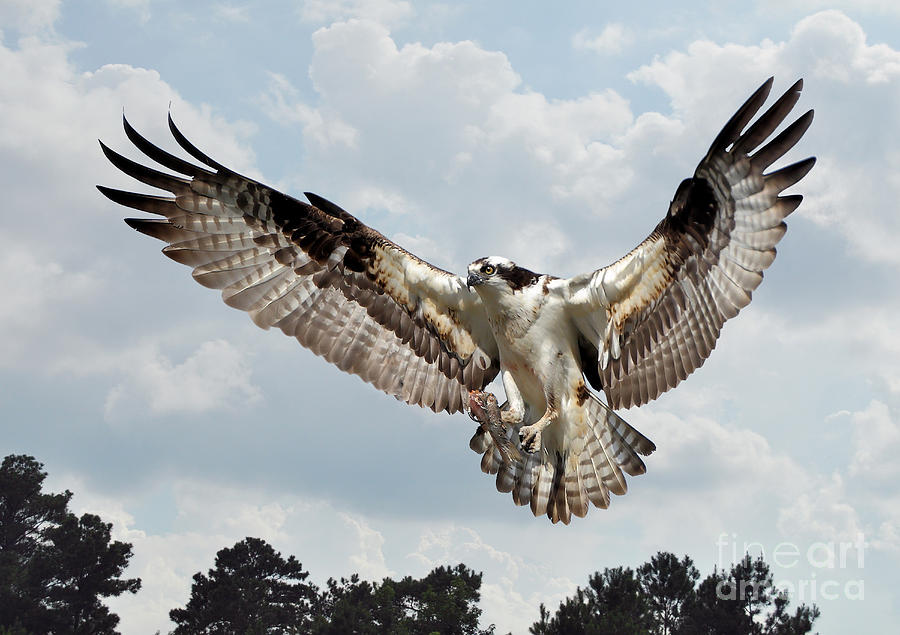 Birds Photograph - Osprey With Fish In Talons by Kathy Baccari