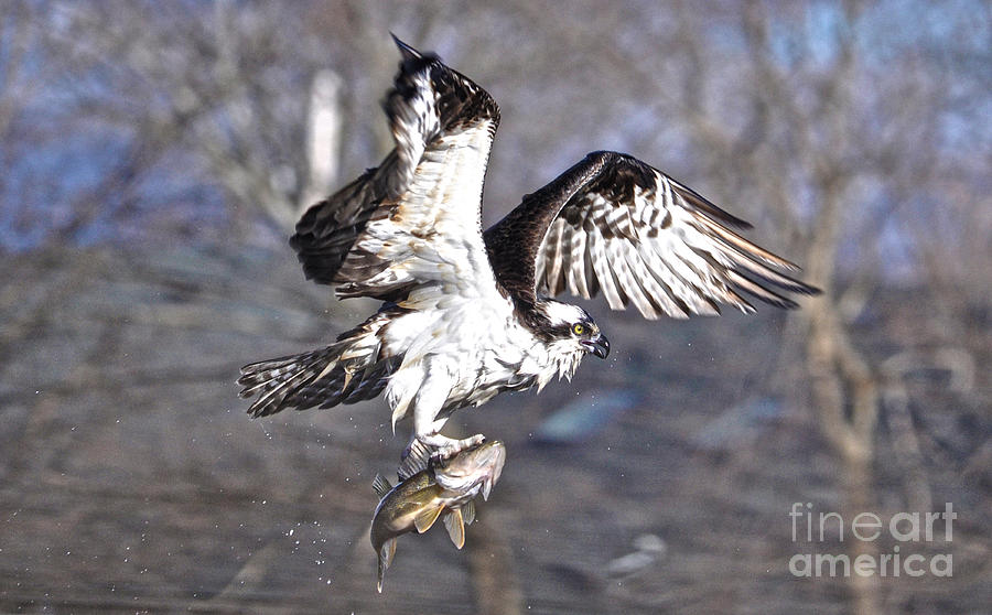 Osprey Photograph - Osprey With Walleye Fish by Skye Ryan-Evans