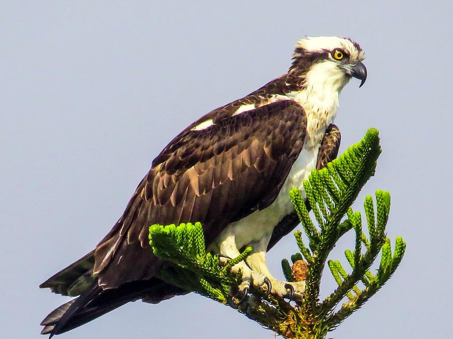 Sea Hawk Photograph - Osprey by Zina Stromberg