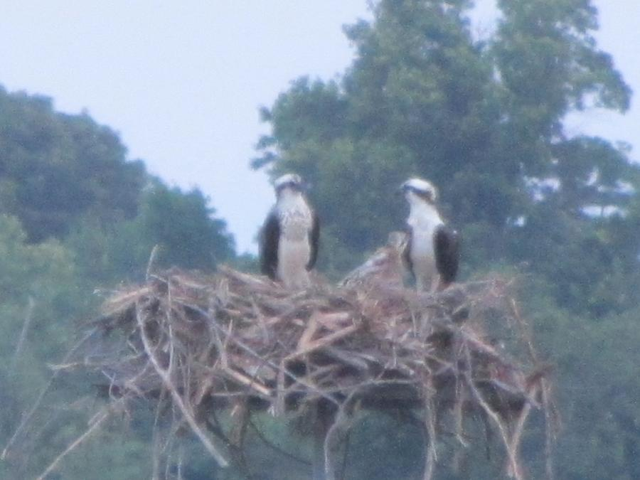 Birds Photograph - Ospreys Chatting On The Chesapeake Bay by Debbie Nester