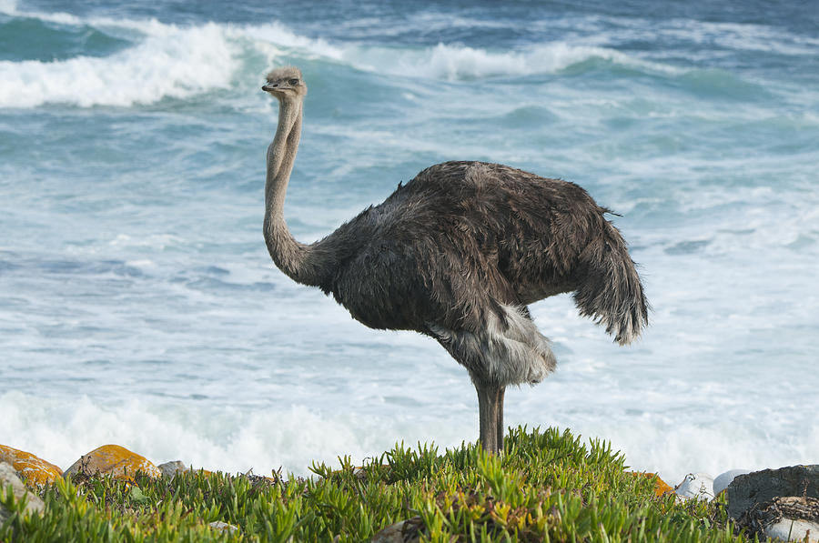 Ostrich Female South Africa Photograph by Kevin Schafer