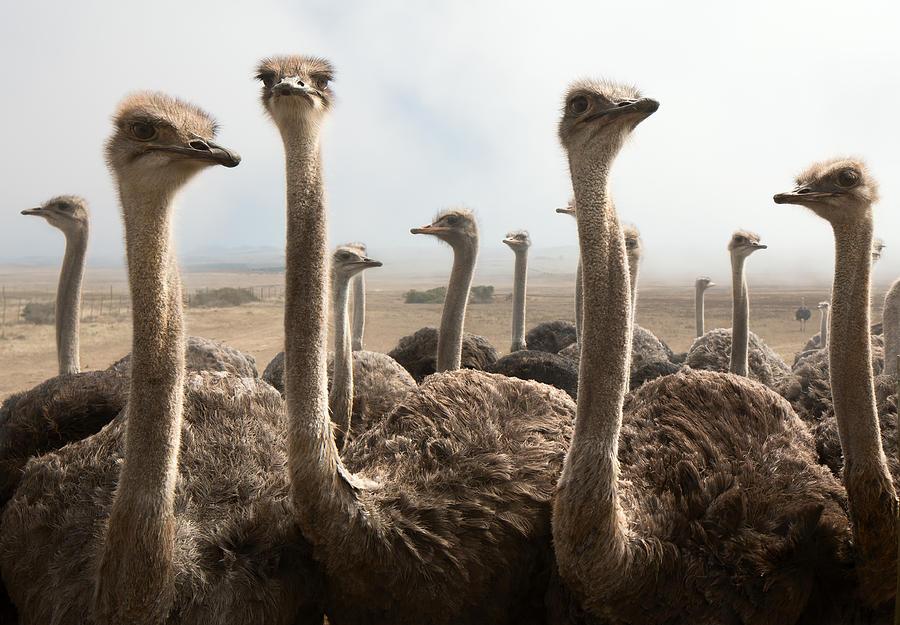 Ostrich Heads Photograph