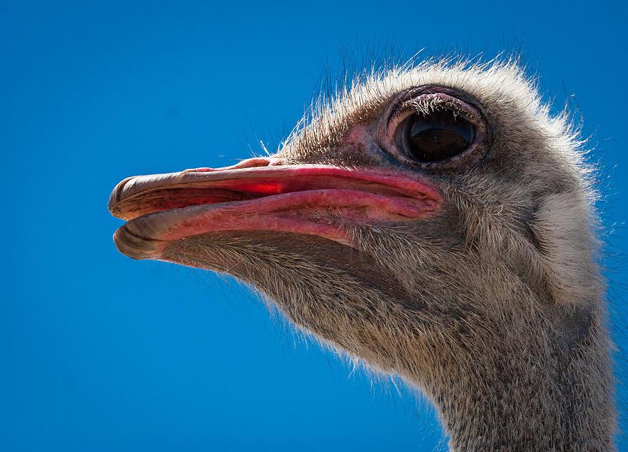 Ostrich Photograph - Ostrich Profile by Jean Noren
