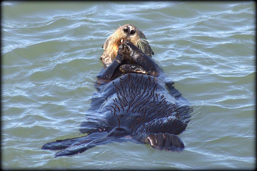 Ocean Photograph - Otter 2 by Daniel Jakus