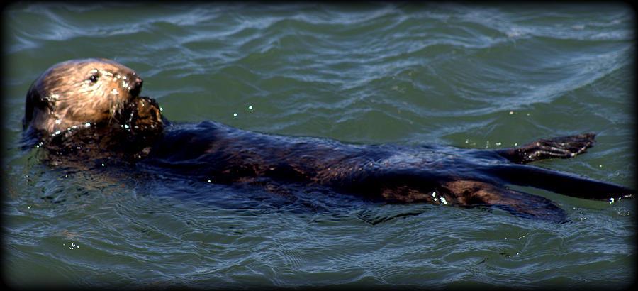 Ocean Photograph - Otter 3 by Daniel Jakus
