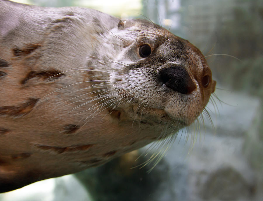 Otter Photograph - Otter Be Lookin At You Kid by John Haldane