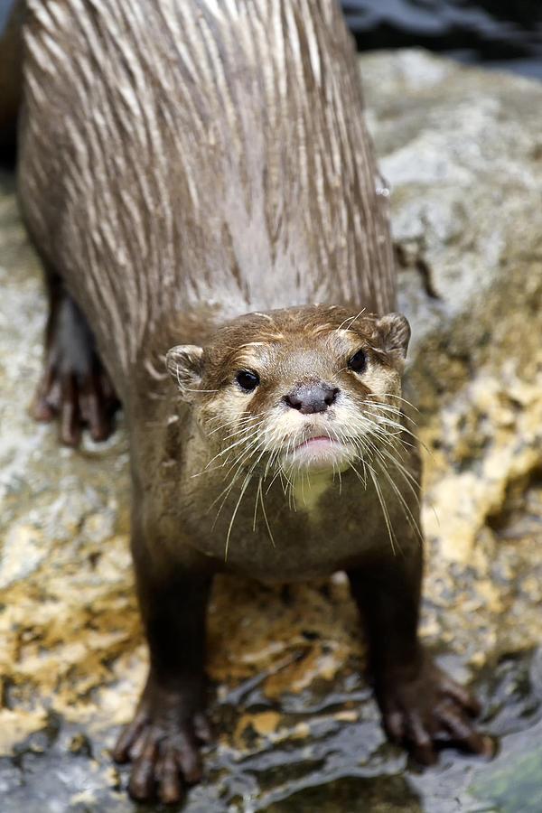 Otter Photograph - Otter by Goyo Ambrosio