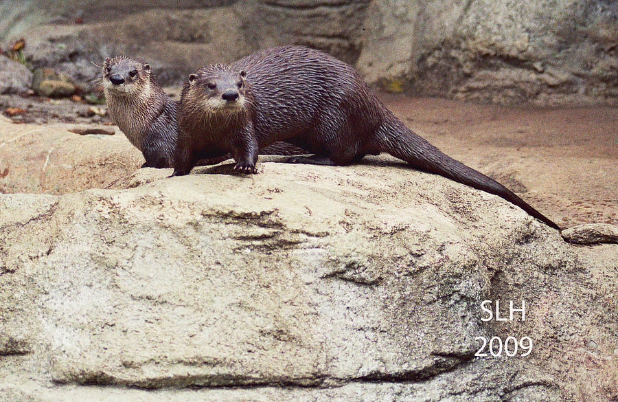 Lee Photograph - Otters by Lee Hartsell