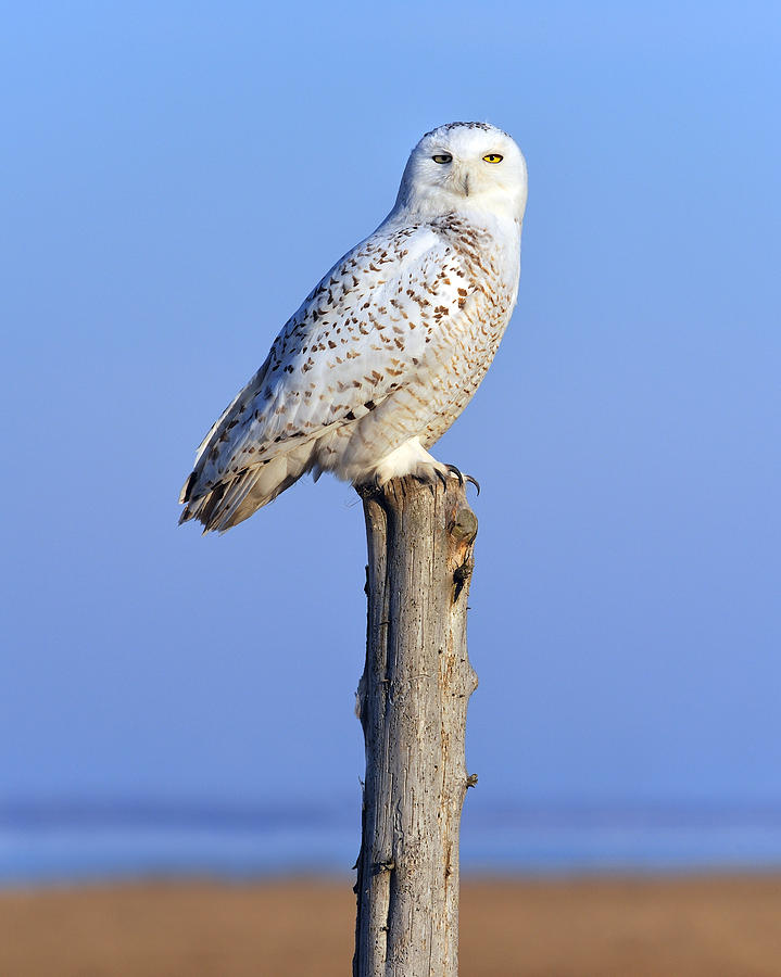 Snowy Owl Photograph - Out In The Open by Tony Beck