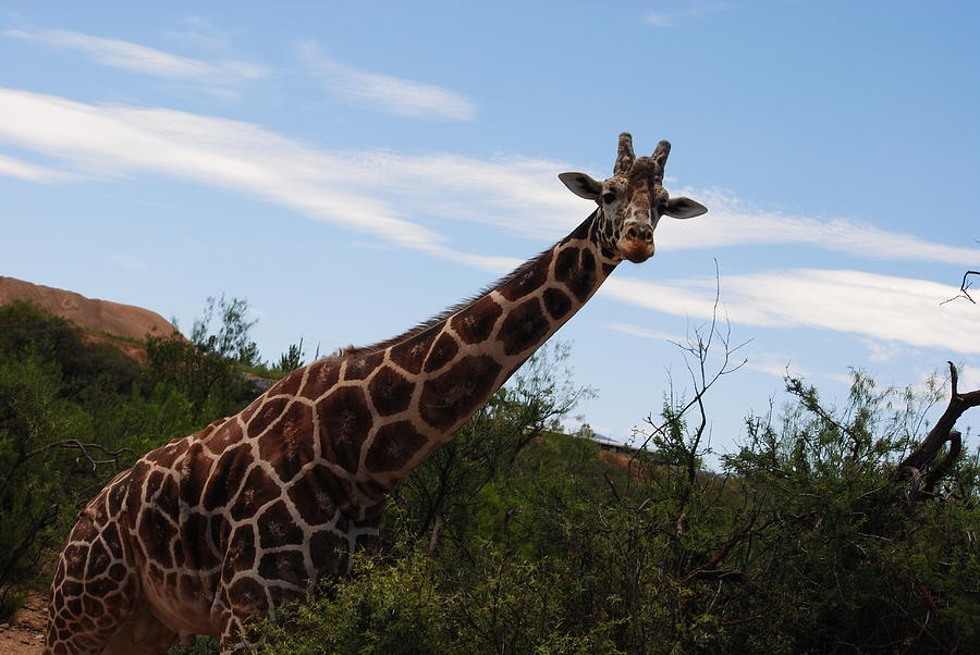 Giraffe Photograph - Out Of Africa 3 by Paulina Roybal