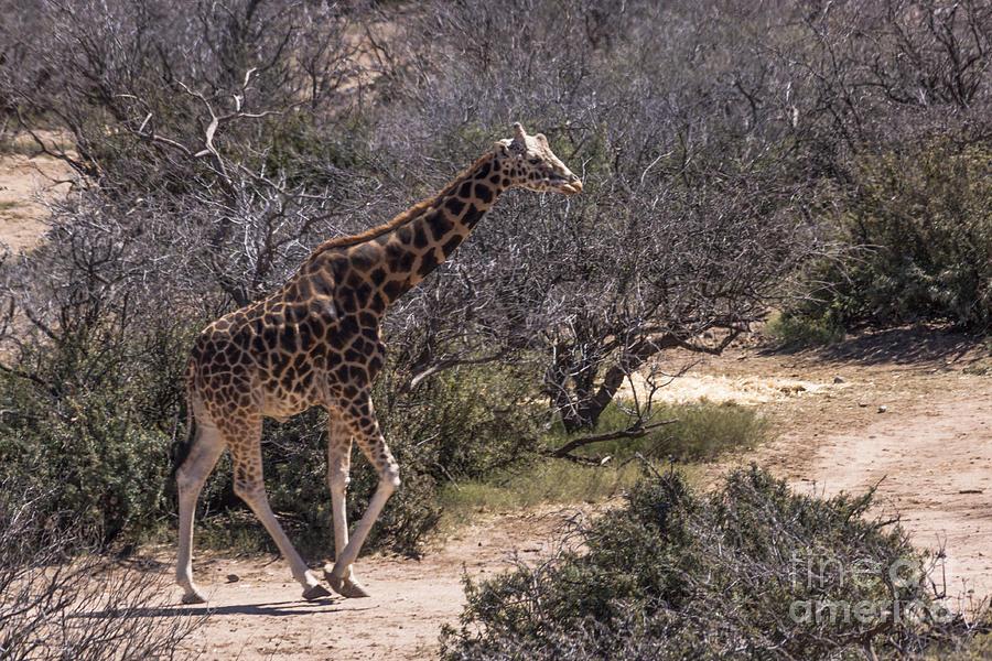 Grass Photograph - Out Of Africa Giraffe by Janice Rae Pariza