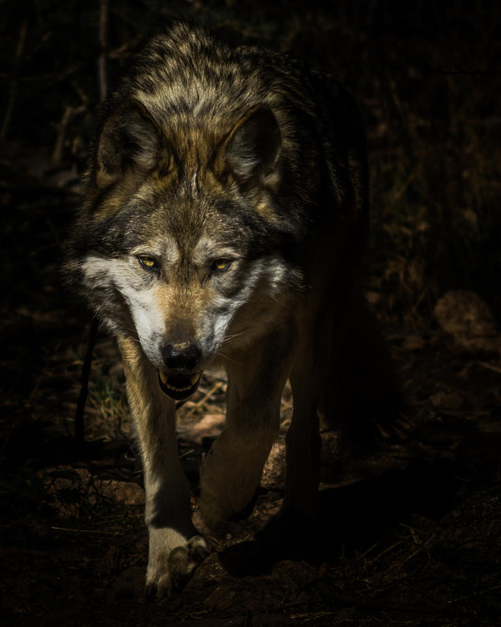 Wolf Photograph - Out Of The Dark by Ernie Echols