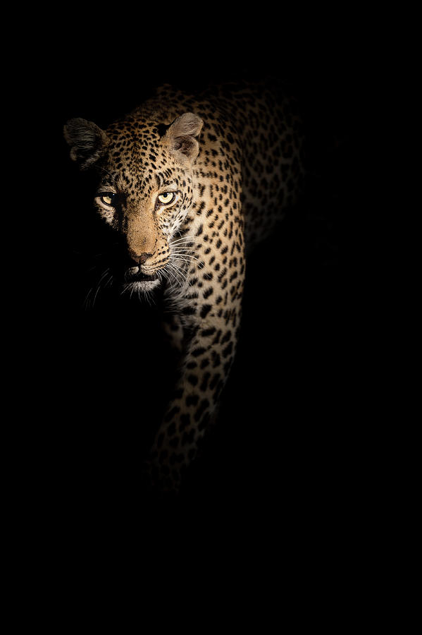 Leopard Photograph - Out Of The Darkness by Richard Guijt