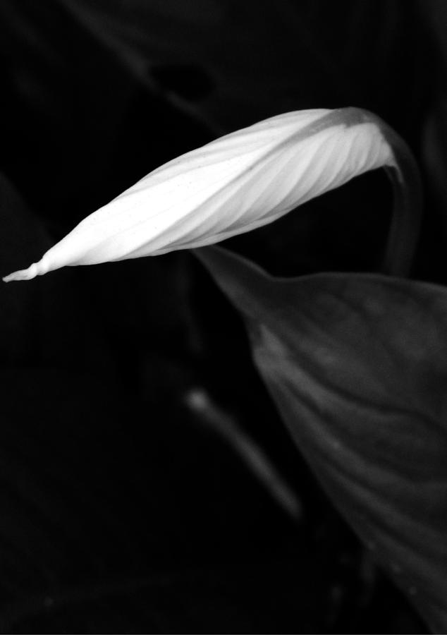 Peace Lily Photograph - Out Of The Darkness by Tara Miller