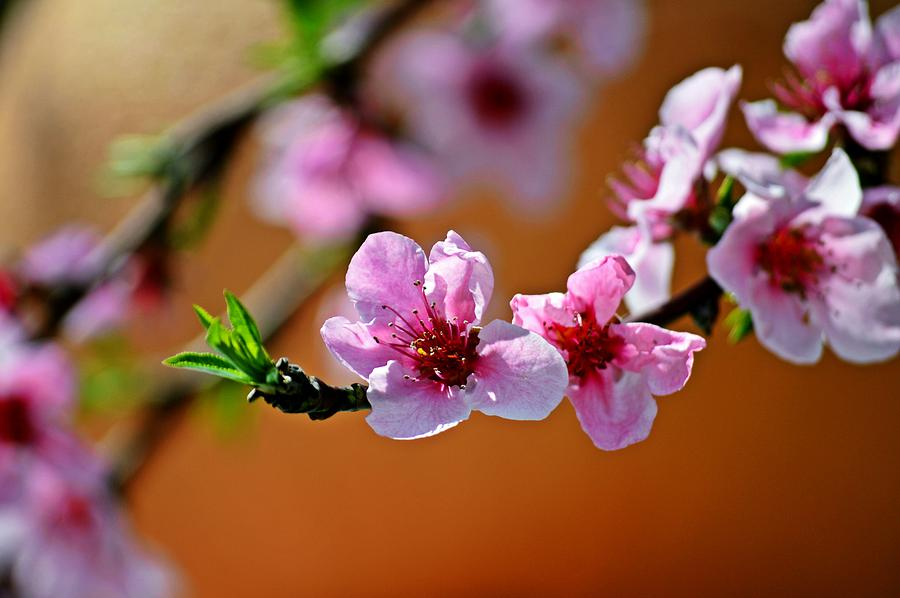 Flowers Photograph - Out On a Limb in Pink by David Earl Johnson
