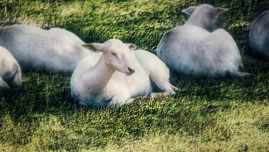 Sheep Photograph - Out To Pasture by Melanie Lankford Photography