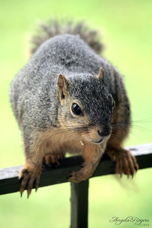 Squirrel Photograph - Outdoor Life - Squirrel 1 by Angela Rogers