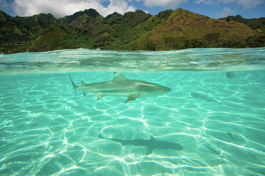 Horizontal Photograph - Over Under, Half Water Half Land, Shark by Panoramic Images