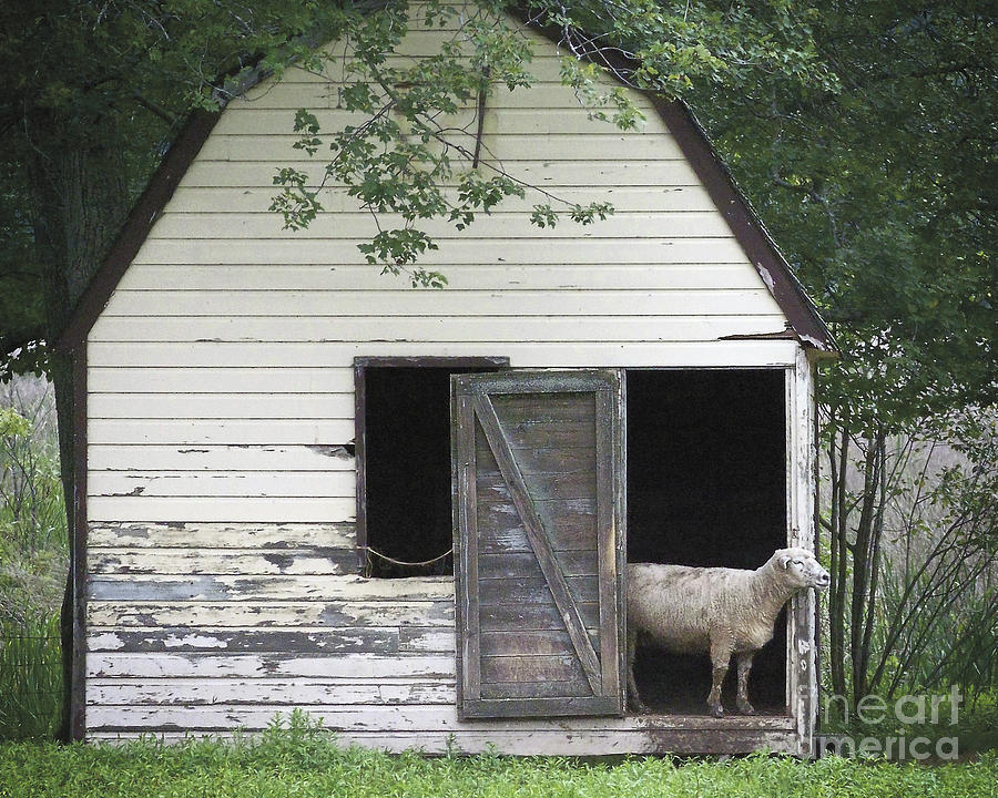 Owen's Farm Lamb in Barn by Ilene Hoffman
