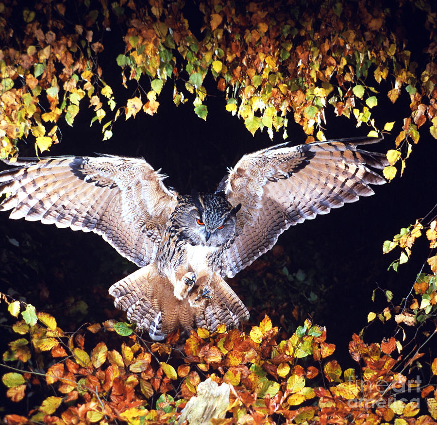 Owl Photograph - Owl About To Land by Manfred Danegger