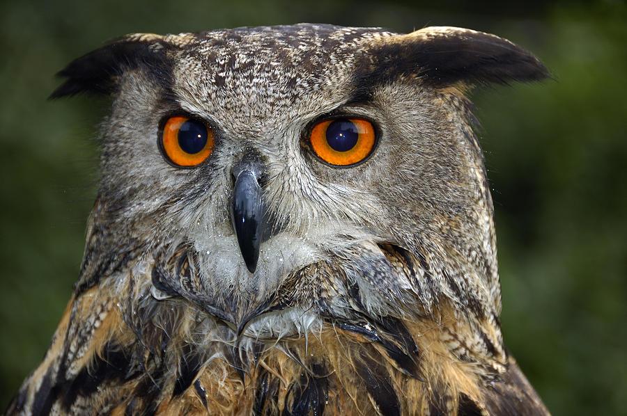 Owl Photograph - Owl Bubo Bubo Portrait by Matthias Hauser