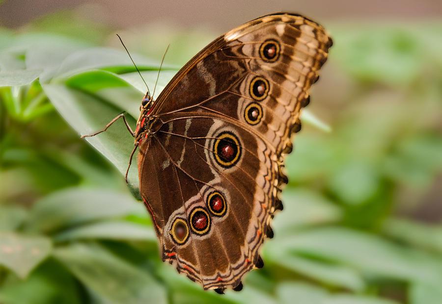 Owl Butterfly Photograph - Owl Butterfly by Mae Wertz