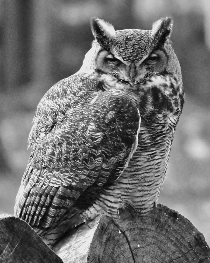 Owl photograph owl in black and white by john feiser